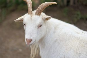 【山羊革】特徴・手入れ方法